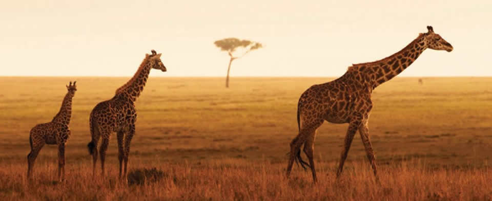 Serengeti Giraffes - short safaris from Zanzibar
